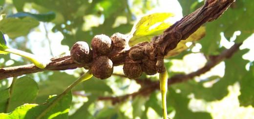 oak-galls
