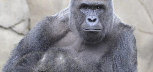 WCPO_Harambe_Cincinnati_Zoo_silverback_gorilla_1429037871541_16763037_ver1.0_640_480