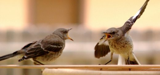 Mocking_Bird_Argument